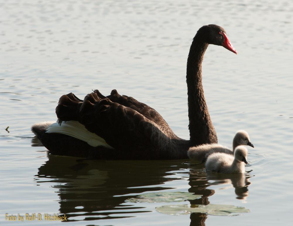 Schwarzer Schwan (Trauerschwan) mit Küken